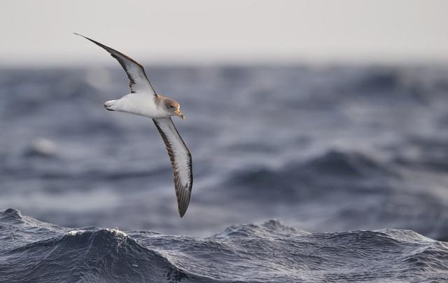 corys_shearwater_sea.jpg